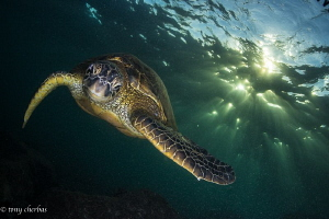 Green Sea Turtle in Dappled Light by Tony Cherbas